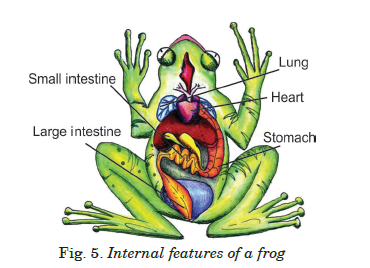 main internal body parts of a frog