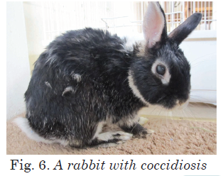 A rabbit with coccidiosis